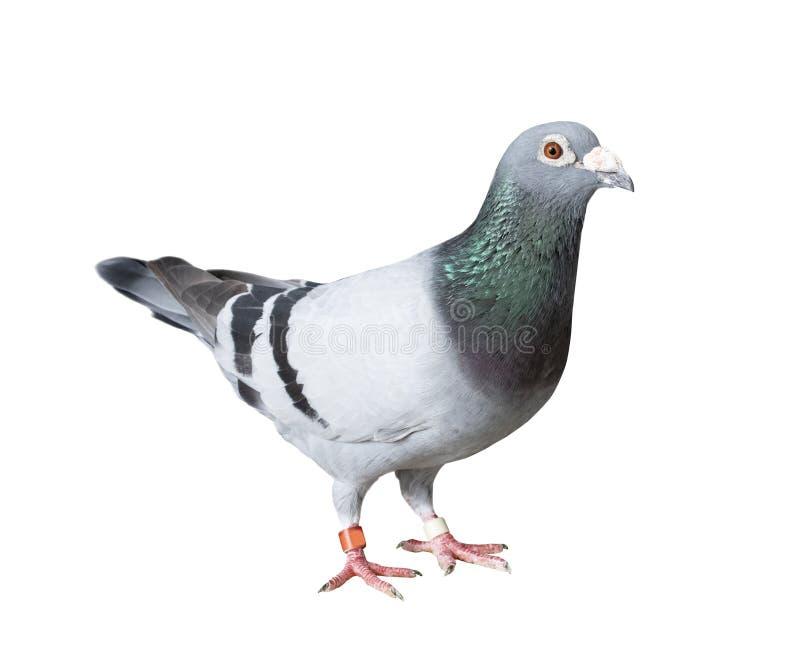 Cuerpo Completo Del Pájaro De La Paloma Que Compite Con De La ...