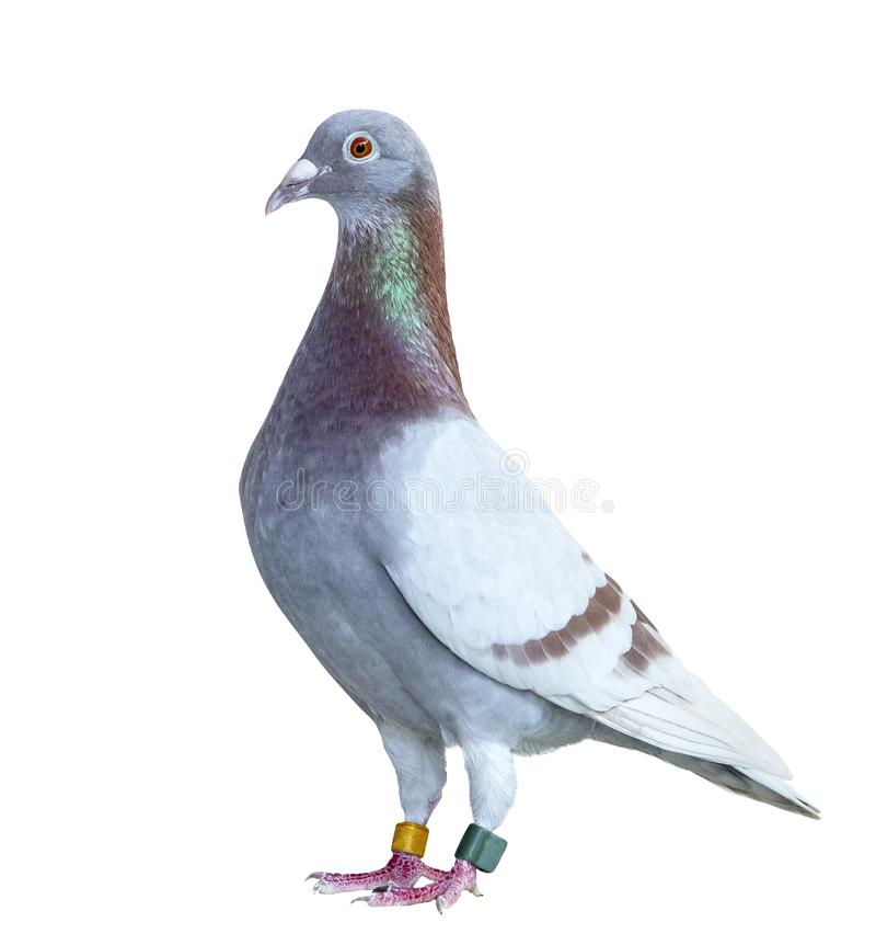 Cuerpo completo del retrato del fondo blanco aislado color rojo del choco de la paloma que compite con de la velocidad fotos de archivo libres de regalías