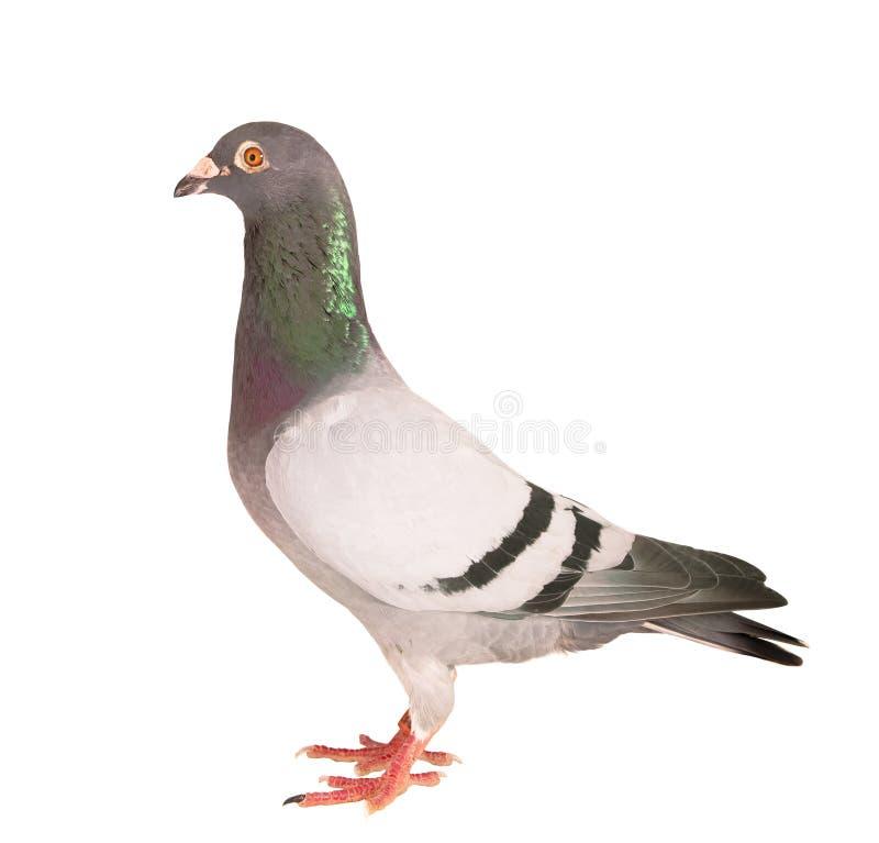 Cuerpo completo del retrato del fondo blanco de la velocidad de la paloma que compite con del aislante masculino del pájaro imagenes de archivo