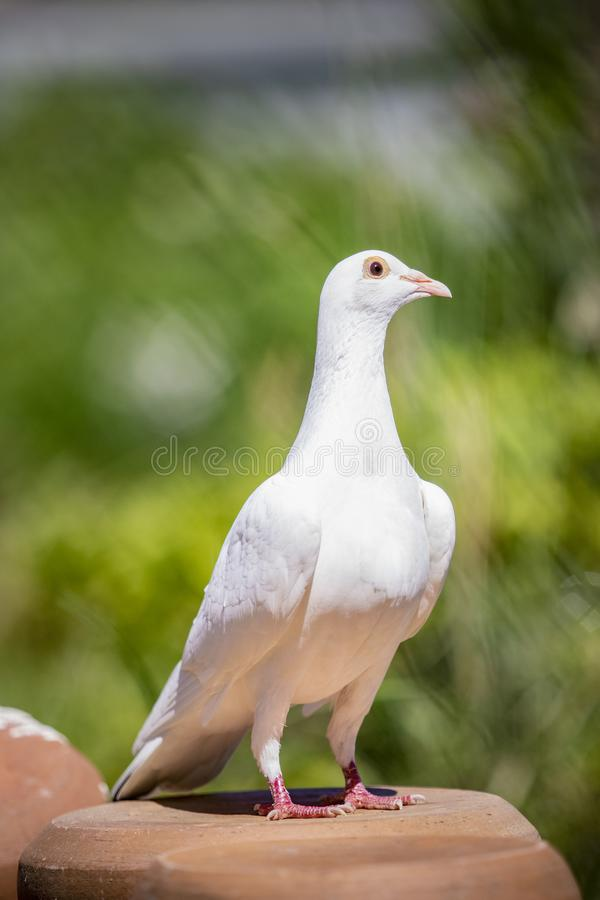 Cuerpo completo del retrato del pájaro de la paloma de la pluma blanca que se coloca en hogar imagen de archivo