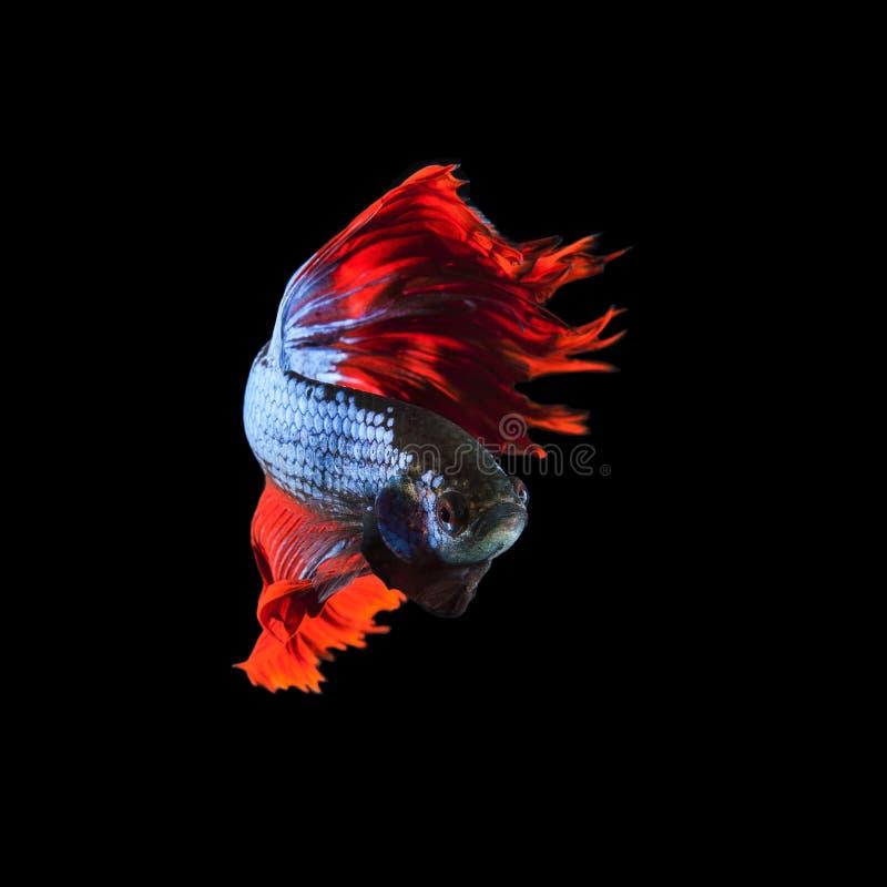 Cuerpo completo siamés de los pescados del betta de la aleta que lucha roja y aleta hermosa foto de archivo