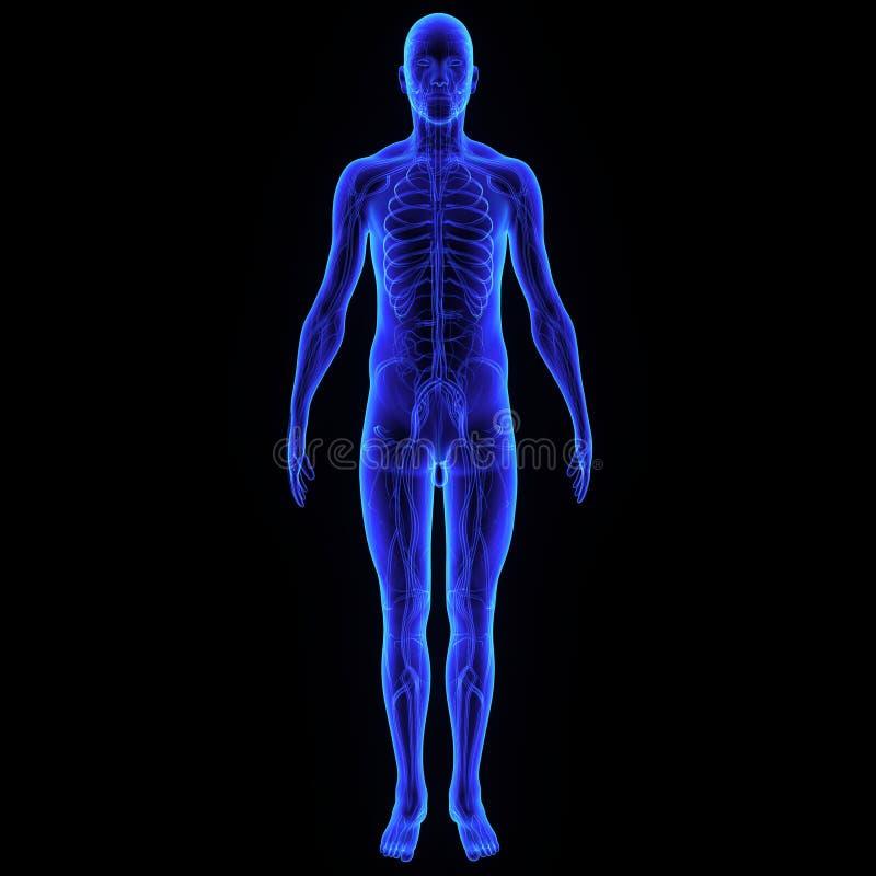 Cuerpo con el sistema nervioso stock de ilustración