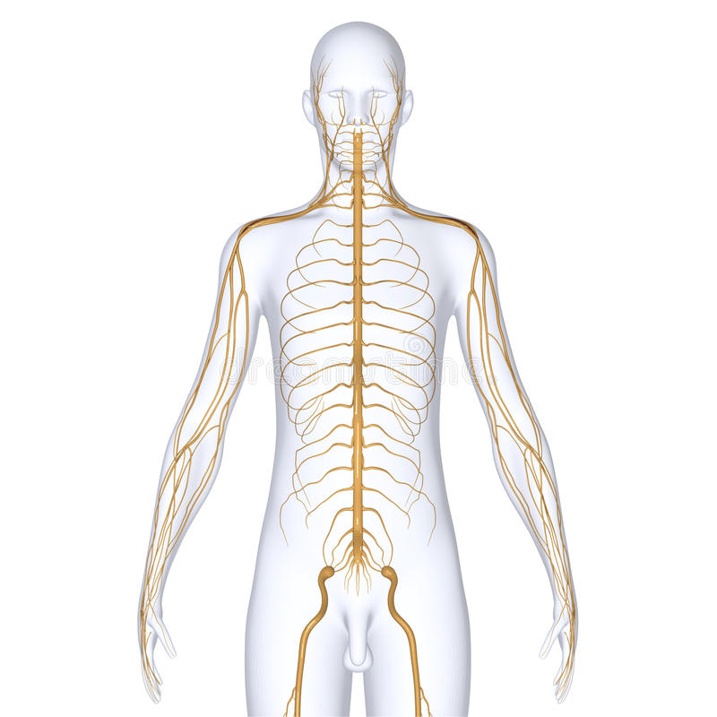 Cuerpo con los nervios fotografía de archivo libre de regalías