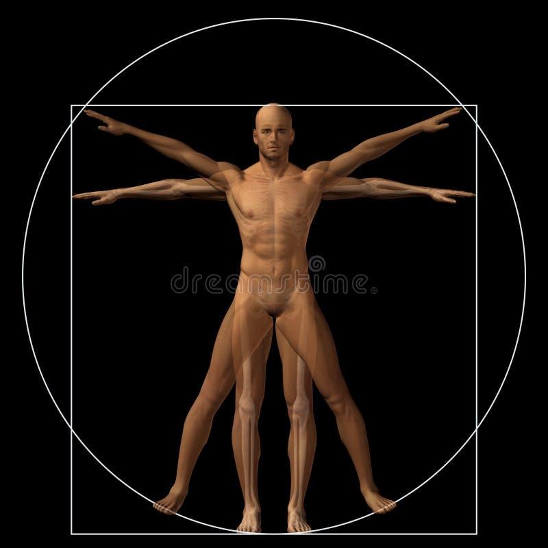 Cuerpo Conceptual De La Anatomía De La Proporción 3d Del Ser Humano ...