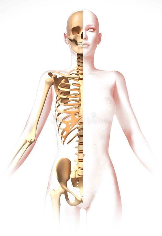Cuerpo De La Mujer, Con El Esqueleto. Imagen De La Anatomía, Mirada ...