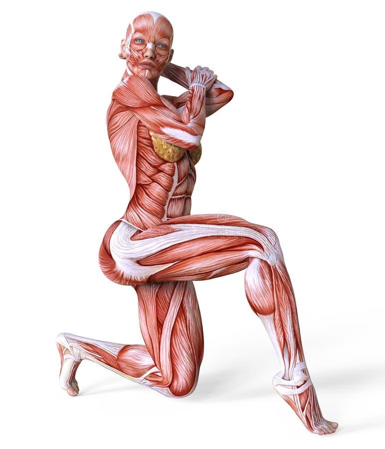 Cuerpo Femenino Del Ejemplo 3D Sin La Piel, La Anatomía Y Los ...