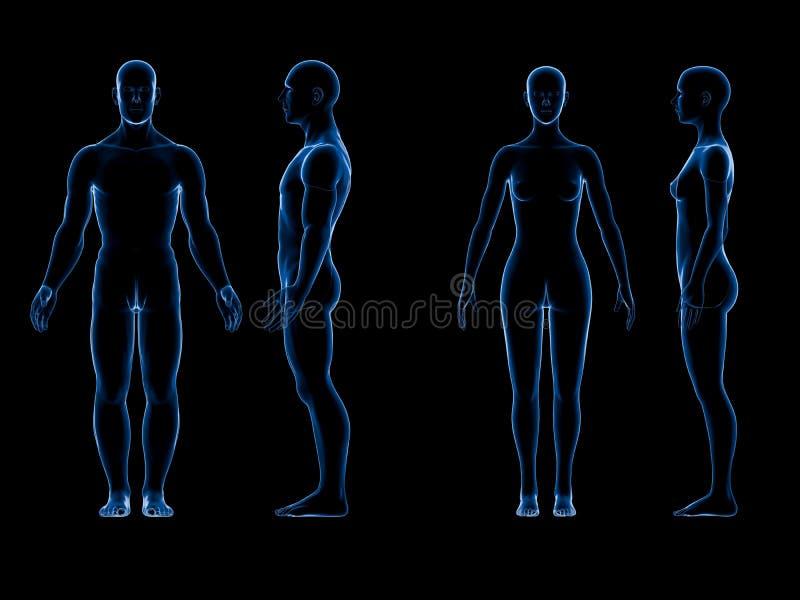 Cuerpo hembra-varón humano del rayo x Concepto de la anatomía El aislante, 3d rinde ilustración del vector