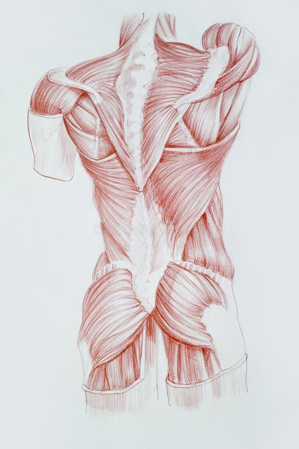 Cuerpo humano stock de ilustración. Ilustración de tronco - 42198358