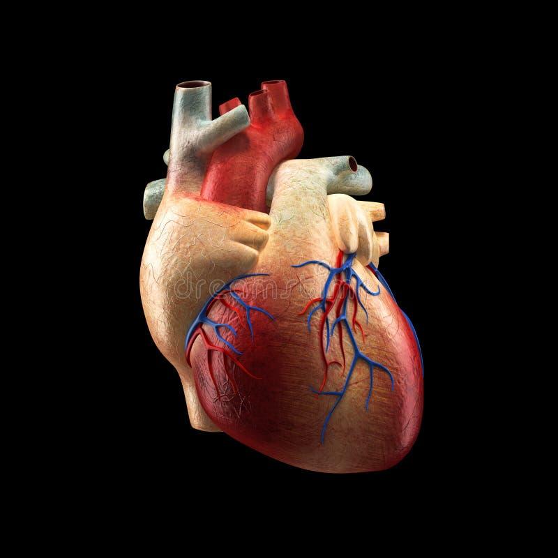 Corazón Real Aislado En El Negro - Modelo Humano De La Anatomía ...