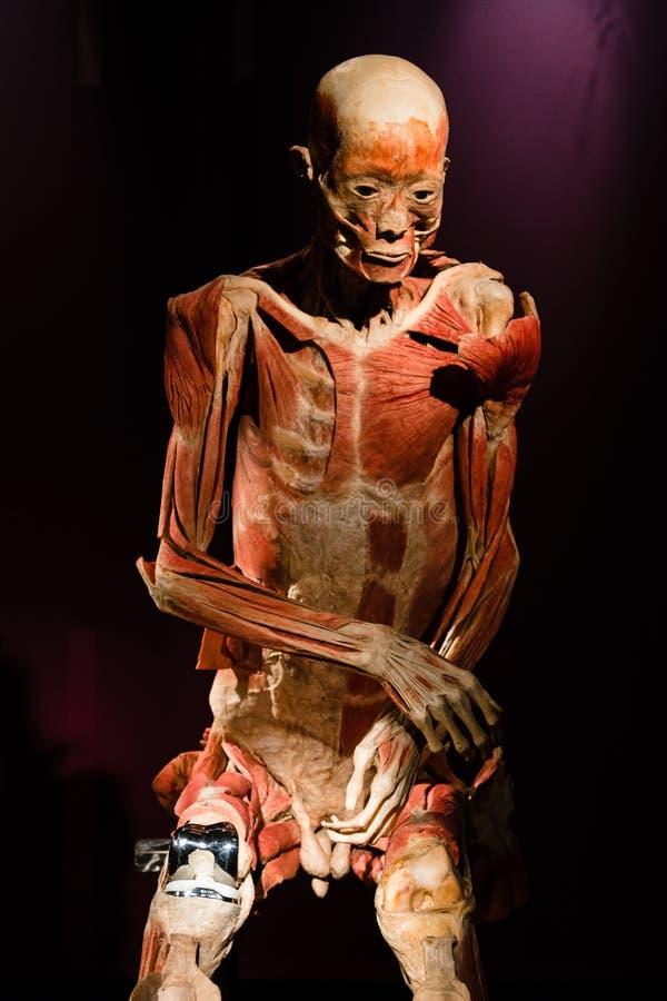 Cuerpo Humano De Plastinated En La Exhibición Fotografía editorial ...