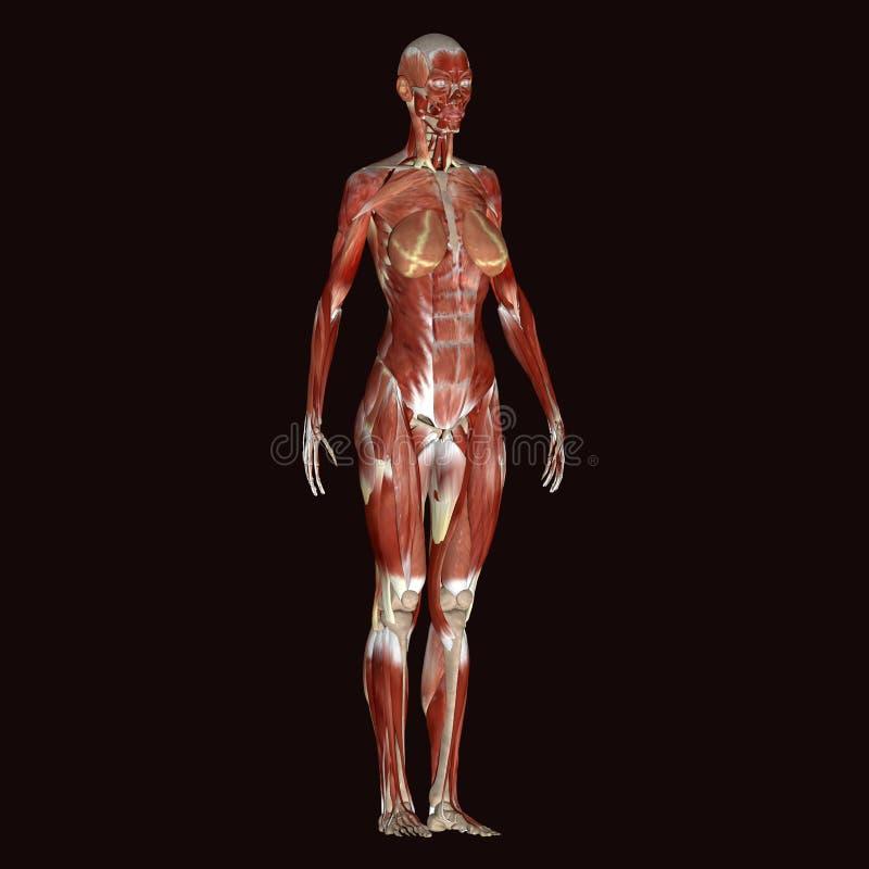 Cuerpo Humano Femenino Del Ejemplo 3d Stock de ilustración ...