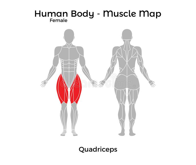 Cuerpo Humano Femenino - Muscle El Mapa, Cuadriceps Ilustración del ...