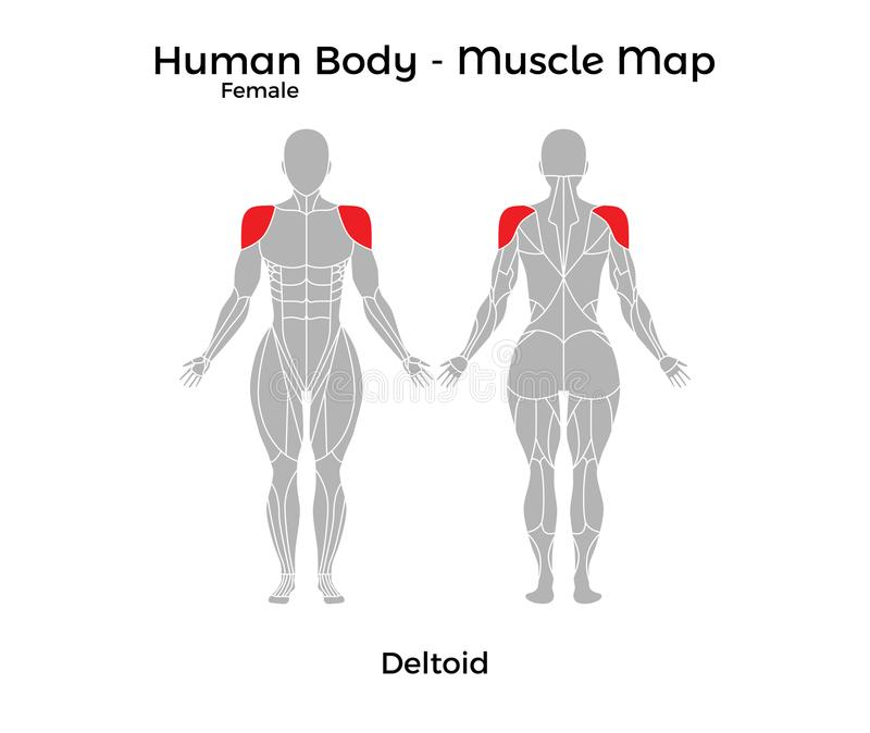 Cuerpo humano femenino - Muscle el mapa, deltoideo stock de ilustración