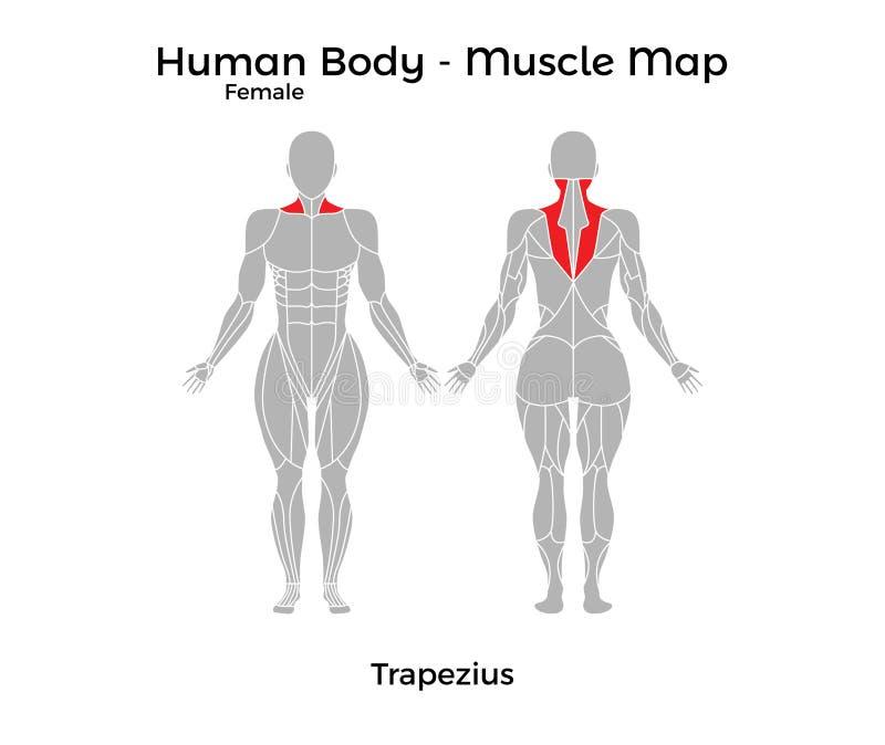 Cuerpo Humano Femenino - Muscle El Mapa, Trapecio Ilustración del ...