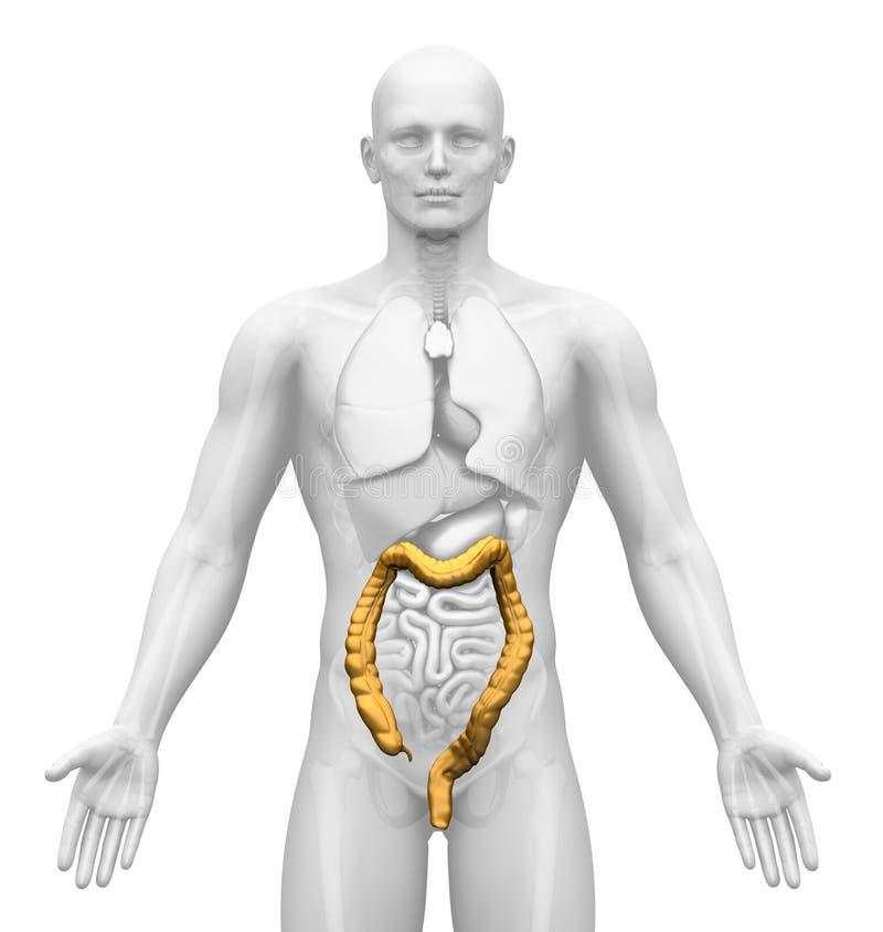 Proyección De Imagen Médica - órganos Masculinos - Dos Puntos Stock ...