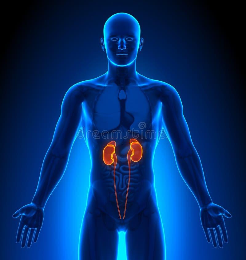 Proyección de imagen médica - órganos masculinos - riñones libre illustration