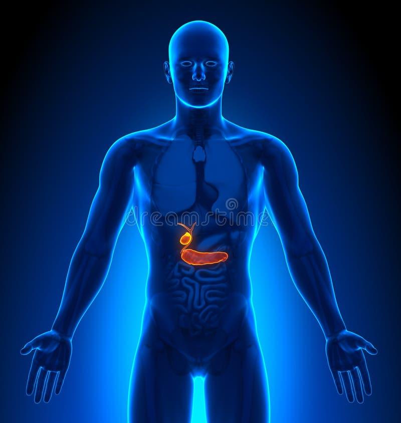 Proyección de imagen médica - órganos masculinos - vesícula biliar/páncreas libre illustration