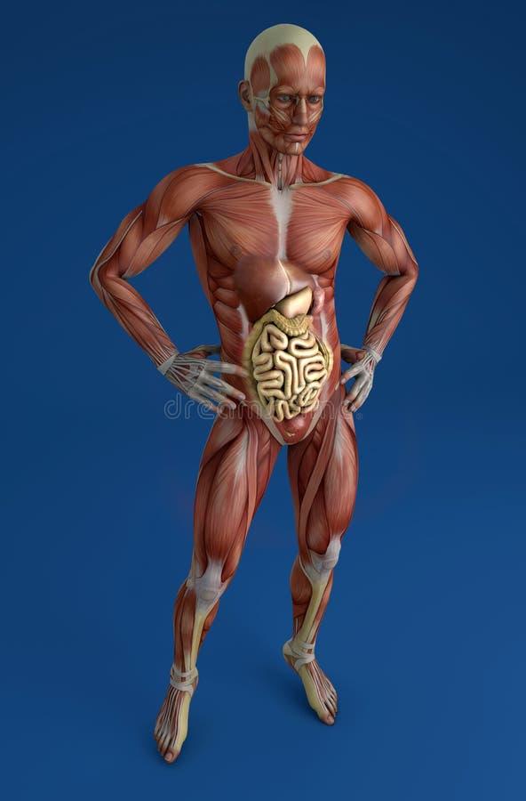 Hermosa Anatomía De Una Persona Obesa Colección de Imágenes ...