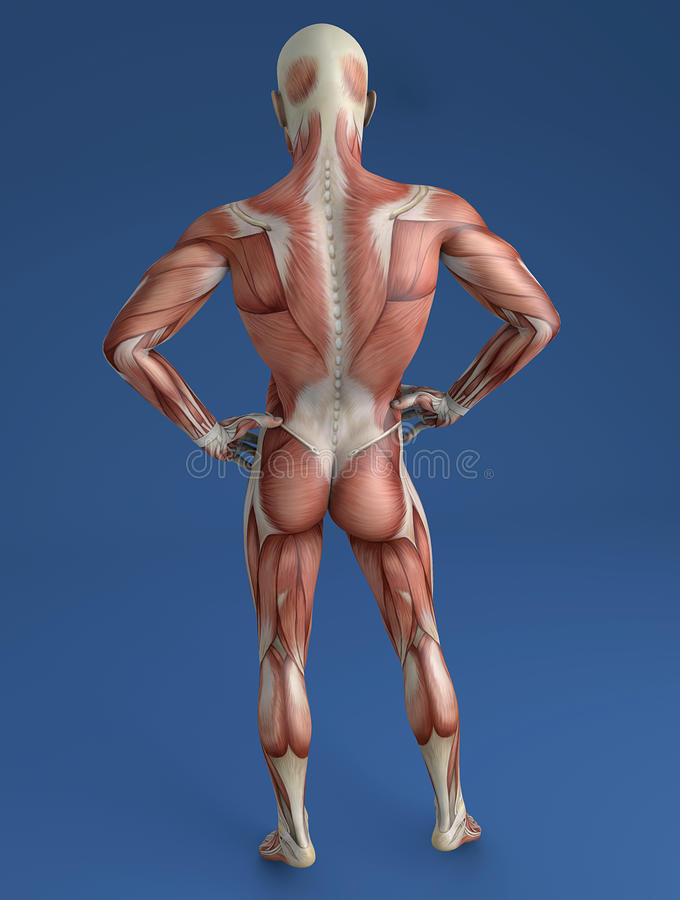 Cuerpo Humano, Sistema Muscular, Visión Trasera Stock de ilustración ...