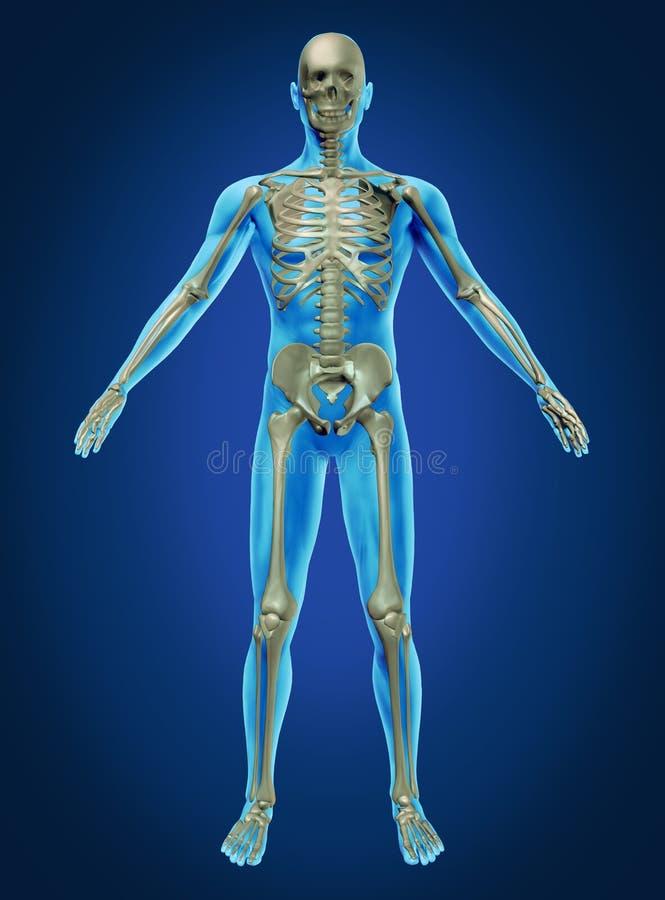 Cuerpo humano y esqueleto libre illustration