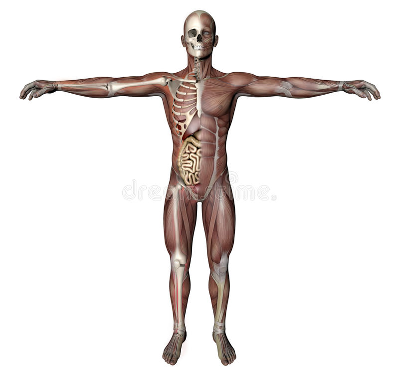 Cuerpo Masculino Con Los Músculos Esqueléticos Y Los órganos Stock ...