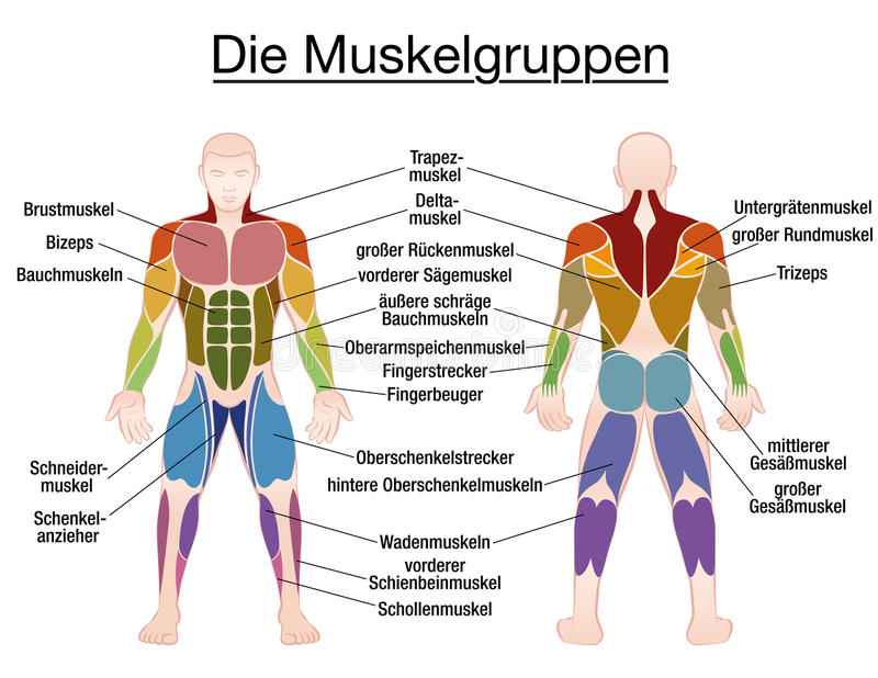 Cuerpo Masculino Del Texto Alemán Del Diagrama Del Músculo ...