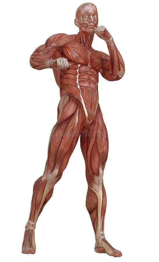 Cuerpo Masculino Sin La Piel, La Anatomía Y El Ejemplo De Los ...