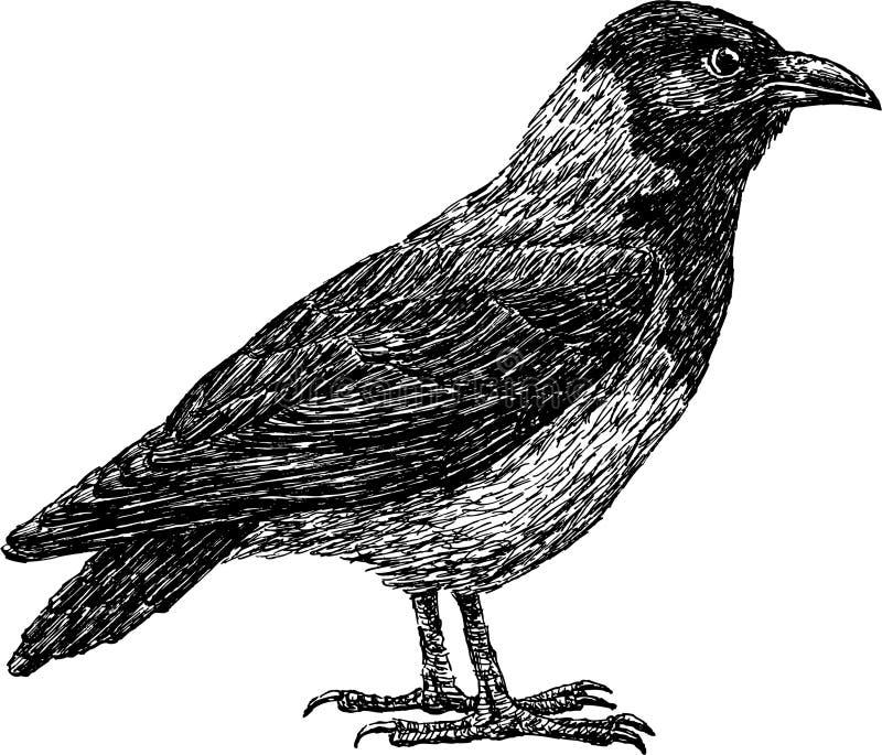 Cuervo libre illustration