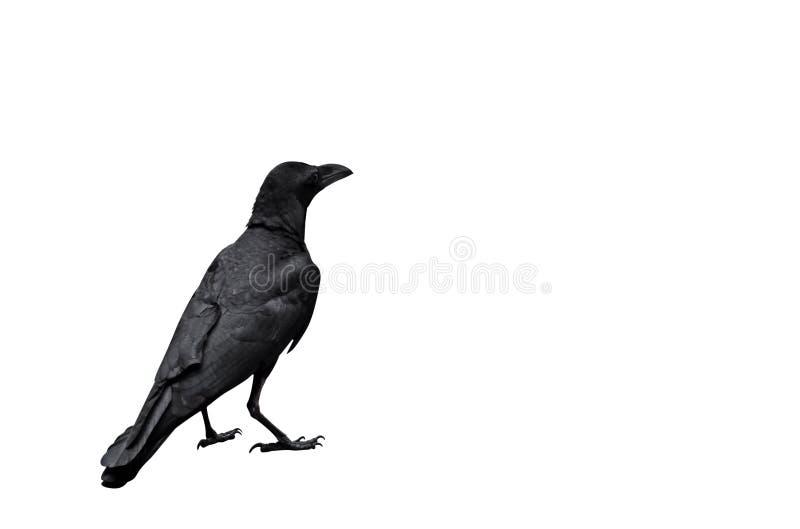 Cuervo adulto aislado en el fondo blanco, trayectoria de recortes fotografía de archivo libre de regalías