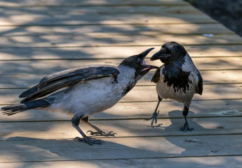 Cuervo adulto que alimenta a su bebé hambriento imagen de archivo