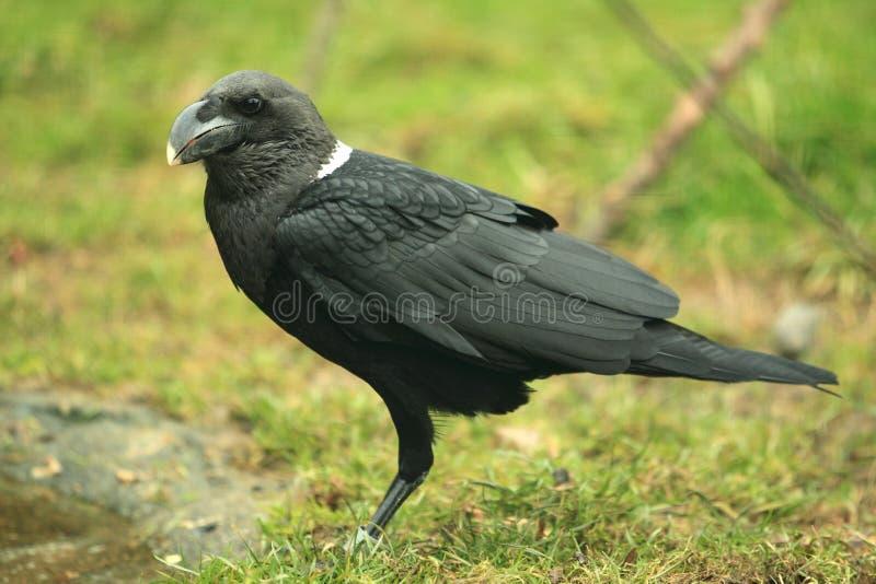 cuervo Blanco-necked imagenes de archivo