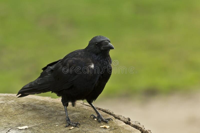 Download Cuervo Común (corax Del Corvus) Foto de archivo - Imagen de aviar, animal: 44850754