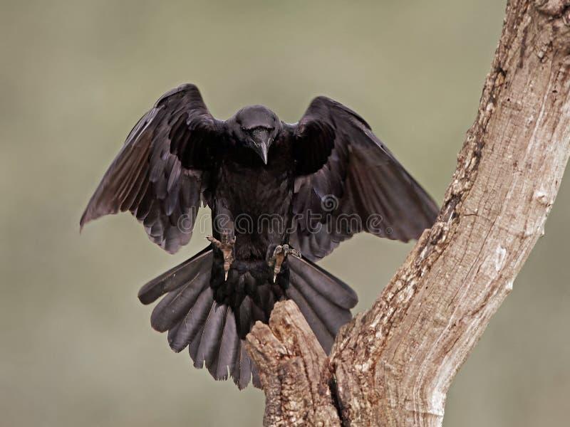 Cuervo común (corax del Corvus) imagen de archivo libre de regalías