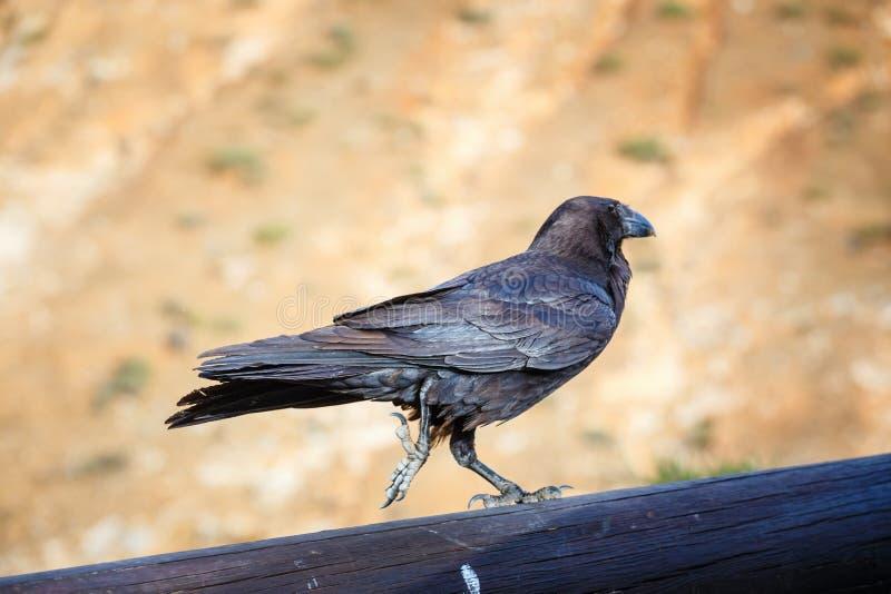 Cuervo común que se sienta en un haz de madera fotografía de archivo