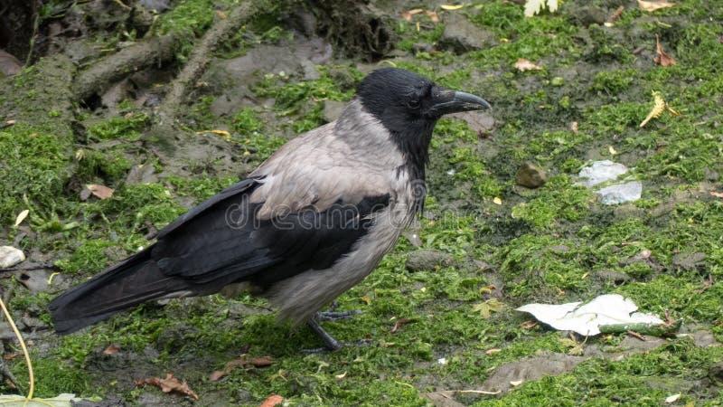 Cuervo/cornix encapuchados del Corvus que se coloca en la tierra mojada cubierta de musgo foto de archivo