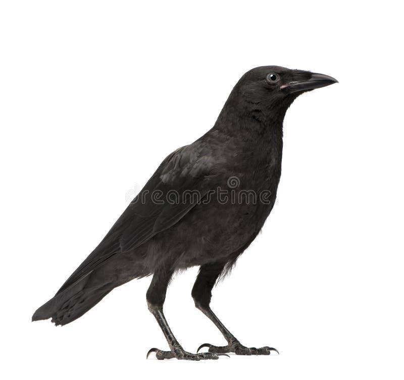 Cuervo de Carrion joven - corone del Corvus (3 meses) foto de archivo libre de regalías