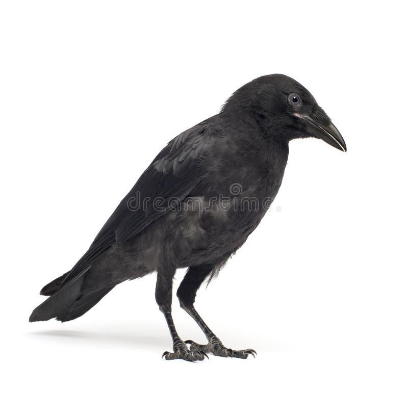 Cuervo de Carrion joven - corone del Corvus (3 meses) fotos de archivo libres de regalías