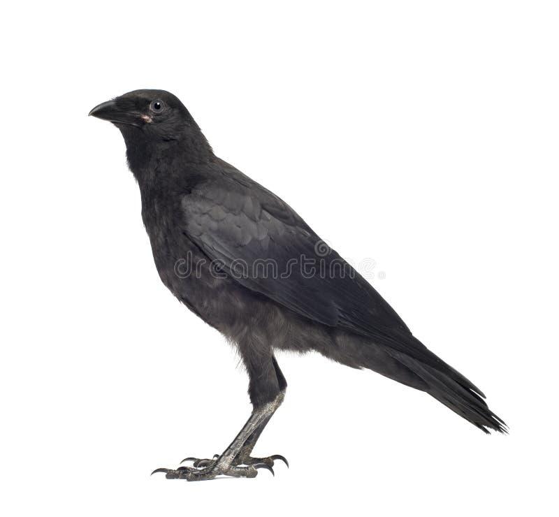 Cuervo de Carrion joven - corone del Corvus (3 meses) imagenes de archivo