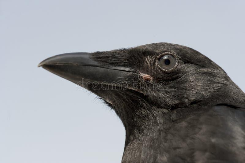 Cuervo de Carrion joven - corone del Corvus (4 meses) imagenes de archivo