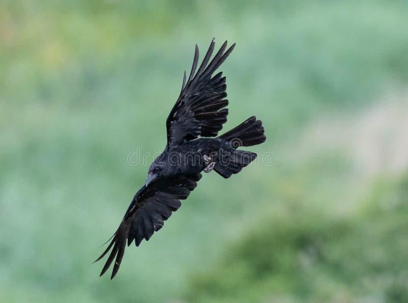 Cuervo de carro?a en vuelo imagen de archivo libre de regalías
