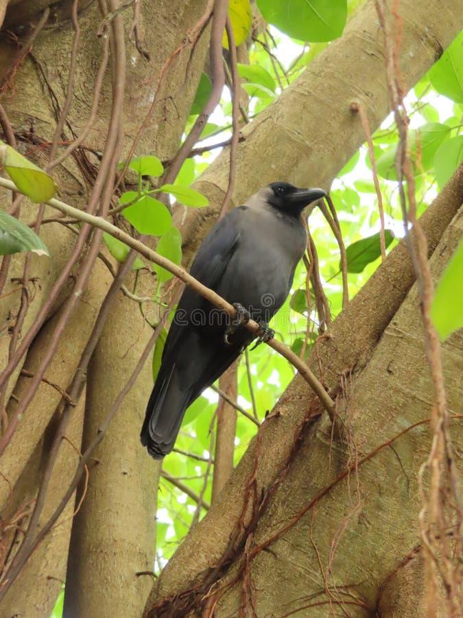 Cuervo de casa en el árbol fotos de archivo