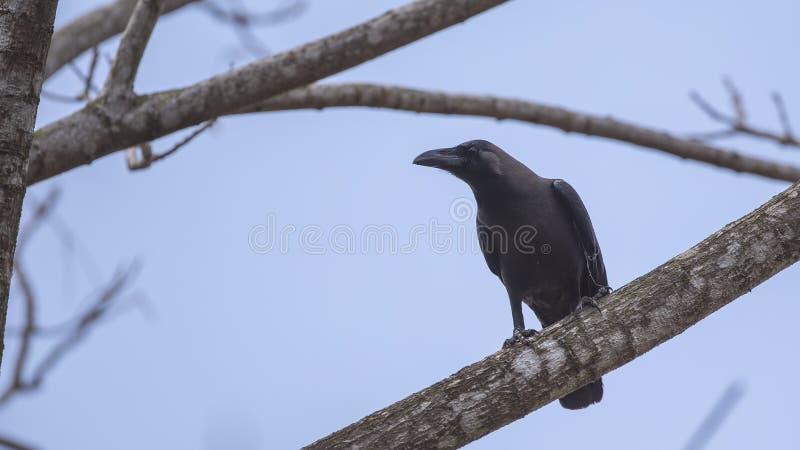 Cuervo de casa en rama de árbol imagen de archivo