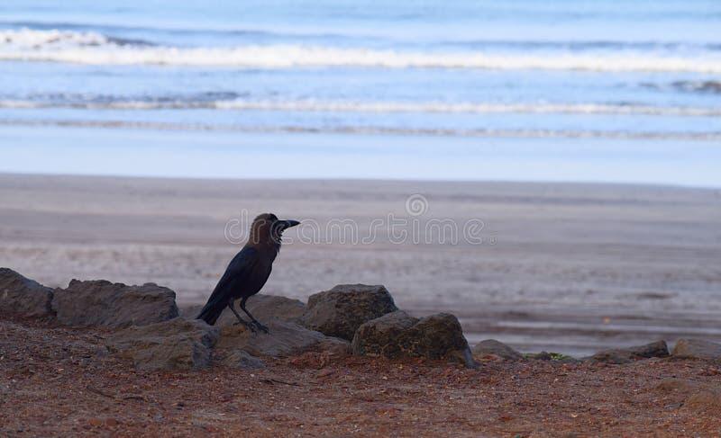 Cuervo de casa indio - Corvus Splendens - en una playa imagen de archivo libre de regalías