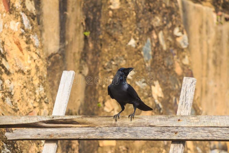 Cuervo de casa o protegatus de los splendens del Corvus fotos de archivo libres de regalías