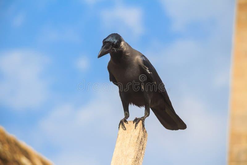 Cuervo de casa o protegatus de los splendens del Corvus imagen de archivo