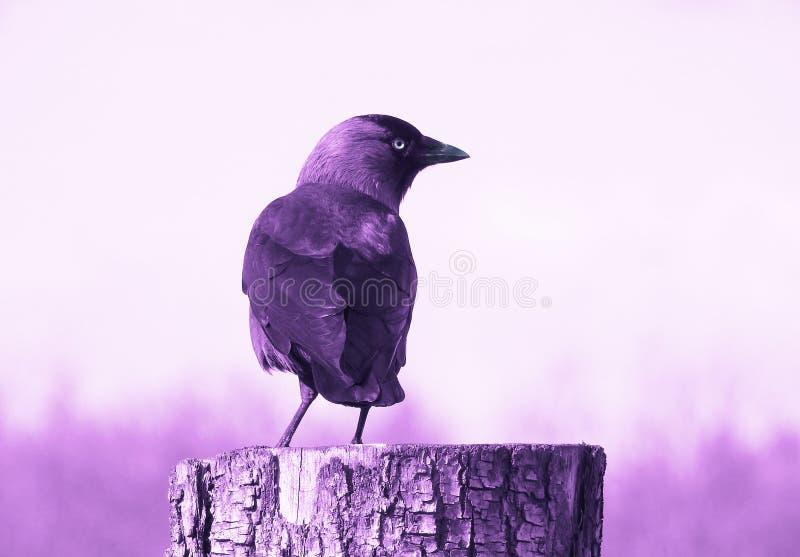 Cuervo de la amatista imagen de archivo