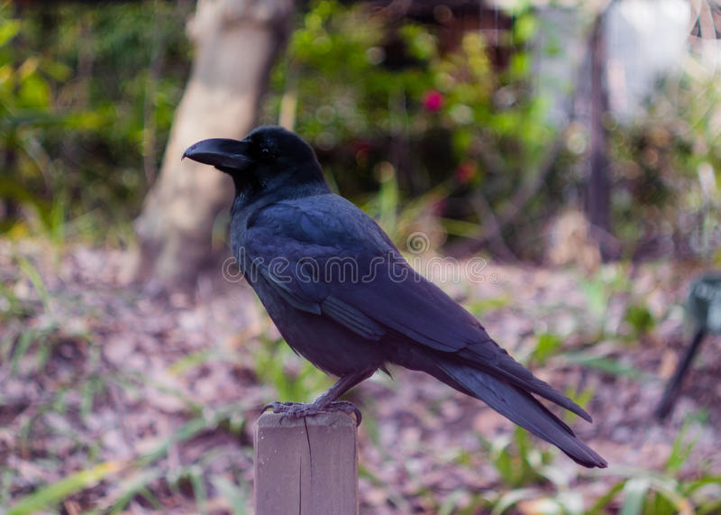 Cuervo de la selva fotografía de archivo