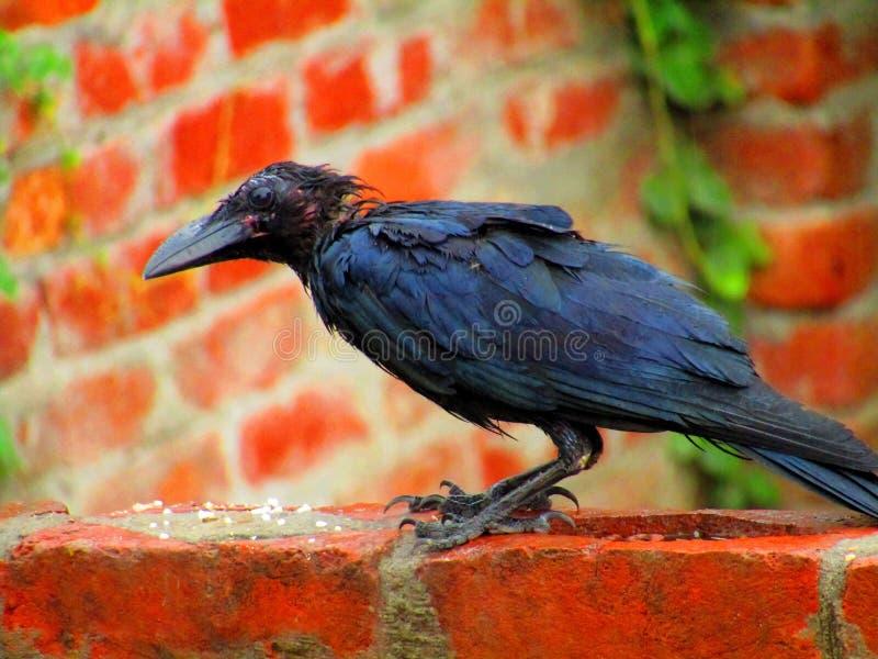 Cuervo de la selva o culminatus indio hermoso del Corvus fotografía de archivo