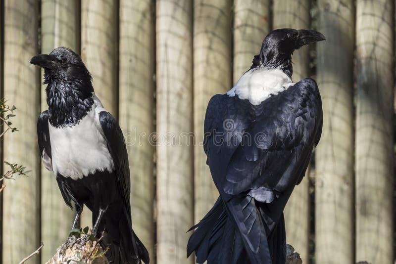 Cuervo de varios colores, albus del Corvus, solo pájaro fotografía de archivo
