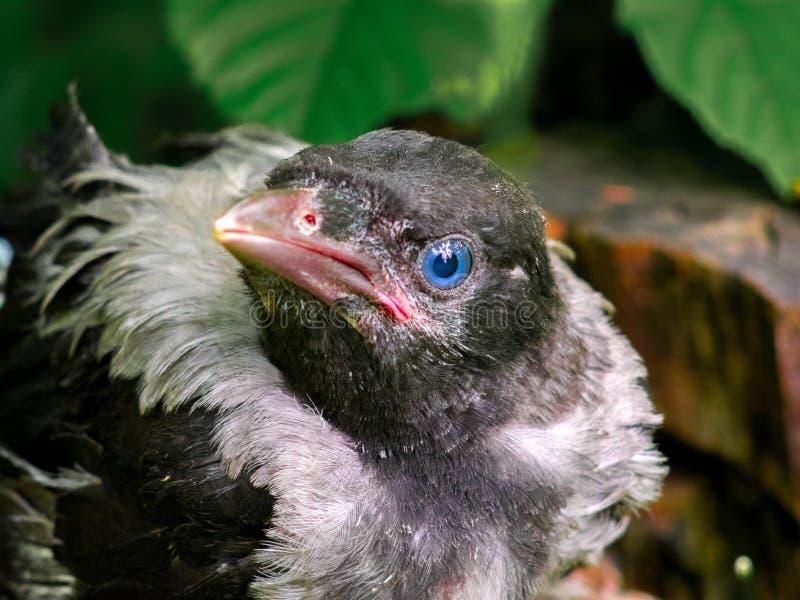 Cuervo del bebé imagen de archivo libre de regalías